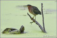 hmm, fresh birdie (Earl Reinink) Tags: waterfowl heron greenheron earl reinink earlreinink nature naturephotography nikon nikond5 rdadtazdra