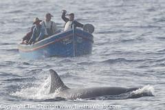 Orca (Orcinus orca) 03 Aug-16-48528 (tim stenton www.TimtheWhale.com) Tags: delphinidae female killerofwhales killerwhale mediterranean mediterraneansea odontoceti orcinusorca spain straitofgibraltar tarifa tumares whale orca