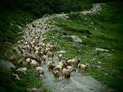 Hai detto capre? (sandra_simonetti88) Tags: capre goats mountains montagna nature natura stradadimontagna trekkingtrail hiking crocedomini vallecamonica brescia lombardia italia italy animals fauna curiose