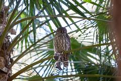 IMG_7826.jpg (M Bee) Tags: animals barkingowl bird