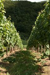 ckuchem-1435 (christine_kuchem) Tags: ahrtal anbau anbaugebiet eifel felsen rotweinwanderweg schiefer schieferfelsen sommer weinanbau weinberg weintraubenanbau weintrauben