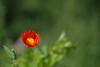 Moon (Jaan Keinaste) Tags: pentax k3 pentaxk3 eesti estonia loodus nature moon poppy punane red