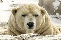 "a ""cool"" shot (ucumari photography) Tags: ucumariphotography polarbear ursusmaritimus oso bear animal mammal zoo osopolar ourspolaire oursblanc eisbr sbjrn orsopolare  nanuq columbuszoo ohio january 2013 dsc0062 snow specanimal"