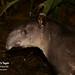 Baird's Tapir, Tapirus bairdii