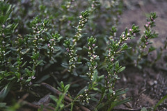 where ever you stand be the soul of that place.. RUMI (Ayeshadows) Tags: tiny flowers rumi winter thyme herbs plant
