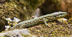 Scheu / Shy (schreibtnix on 'n off) Tags: natur nature tiere animals eidechse lizard smaragdeidechse greenlizard lacertaviridis frankreich france nahaufnahme closeup felsen rock olympuse5 schreibtnix