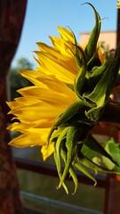 shining (space_child) Tags: flower sunflower simplybeautiful flowerpower flowermagic gettingcloser closeup closeupmagic