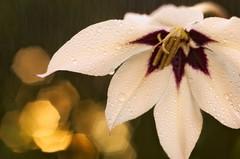 A bokeh flower power (* mariozysk *) Tags: flower bokeh industar 61l pentax k5 water droplets drops beautiful amazing light macro wiato niezwyke woda krople kwiat white biay background to