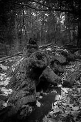 (283/366) Felled (CarusoPhoto) Tags: hd pentaxda l 1850mm f456 dc wr re hdpentaxdal1850mmf456dcwrre pentax ks2 bw john caruso carusophoto photo day project 365 366 tree felled woods forest stump autumn fall