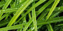 Countless rain droplets (++sepp++) Tags: garten natur pflanzen regentropfen graben bayern deutschland de nahaufnahme closeup nature plants garden grn green bltter leaves raindrops raindroplets