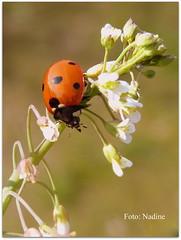 Ladybird on Cuckoo Flower (Nadine V.) Tags: coccinellidae beetle kever coccinelle ladybird ladybug lieveheersbeestje macro pinksterbloem cardaminepratensis cuckooflower ladyssmock brassicaceae insect inourgarden panasonic panasonicdmcfz38 fz38 lumix