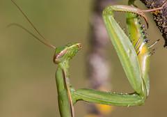 Mante 25 (Jeaunse23) Tags: mantis mantisreligiosa macro insect france ardeche