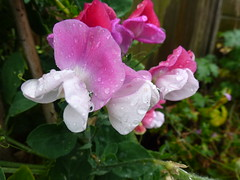 Sweat Peas ! (Mara 1) Tags: summer flowers tall climber petals red lilac white outdoors raindrops water droplets green leaves pod