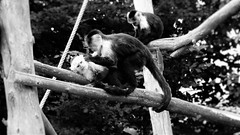 monkeys (LexiDakota) Tags: monkey play cuddle blackandwhite noiretblanc