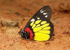 Redbase Jezebel (Delias pasithoe, Pieridae) (John Horstman (itchydogimages, SINOBUG)) Tags: insect macro china yunnan itchydogimages sinobug butterfly lepidoptera pieridae jezebel topf25 topf50 tumblr