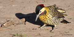 DSC_0079 (rachidH) Tags: birds oiseaux woodpecker pic greenbarredwoodpecker colaptesmelanochloros picvertetnoir carpinterorealnorteo bosquesdepalermo palermo woods buenosaires argentina rachidh nature
