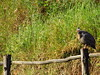 Galinha d'angola (Polymele) Tags: galinha chicken