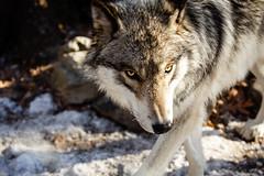 2015 March 29 Lakota Wolf Preserve-283_.jpg (jwfuqua-photography) Tags: jerrywfuqua lakotawolfpreserve newjersey wildlife wolf jwfuquaphotography