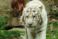 Zoo Bratislava 18.04.2015 36 (Fruehlingsstern) Tags: zoo zebra giraffe bratislava br gibbon dinosaurier katta schimpanse nashorn dinosaurierpark roterpanda zoobratislava weisetiger weiselwen panasonicfz200