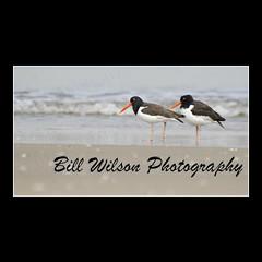 Oystercatchers (wildlifephotonj) Tags: bird nature birds wildlife beachbirds oystercatcher oystercatchers naturephotography shorebirds naturephotos wildlifephotography wildlifephotos beachphotos natureprints wildlifephotographynj naturephotographynj beachesnewjersey