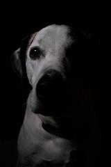 Low Key Pooch (lazytinka) Tags: shadow dog pet lowkey petportrait lowkeyphotography bestofweek1 bestofweek2