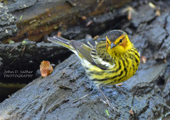 Cape May Warbler (Windows to Nature) Tags: spring capemay warbler 2014 dupagecounty dendroicatigrina fullersburgwoods windowstonature