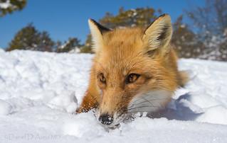 Fox on the Rocks  4356