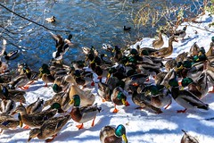 Winter  on Central Park New York #duck  #snow #winter #centralpark #manhattan #newyork #hdr #nyc (lelobnu) Tags: nyc winter snow newyork duck centralpark manhattan hdr