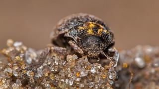 Pill Beetle (Byrrhidae)