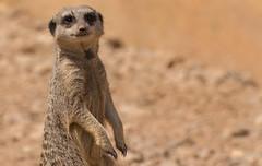 Meerkat (Tim_Allan) Tags: cute animal pose mammal zoo meerkat wildlife sandy londonzoo