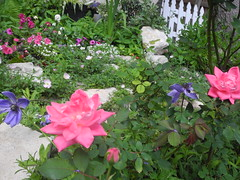 A spring scene from my East side back border (pawightm (Patricia)) Tags: austin texas anemones inmygarden sweetalyssum centraltexas earlyapril pinkknockoutroses pawightm magentapetunias matthiolaincanastock gardenshedborder rscn315747201522933pm knockout®rose