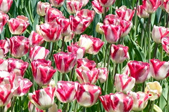 Highland Park Tulips - 08  Candy Cane #2 (George - with over 2 mil views - THANKS) Tags: park flowers usa newyork us spring flora blossom unitedstatesofamerica may rochester tulip upstatenewyork newyorkstate highlandpark westernnewyork floweringtree flowerdisplay monroecounty floralmotif fredericklawolmstead nikond700 photogeorge acdseeultimate8