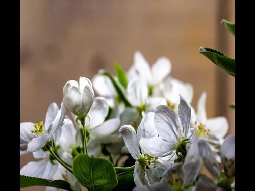 TimeLapse Floración Bonsai Manzanu