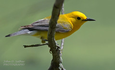 Finally a PROTHONOTARY! (Windows to Nature) Tags: bird spring aves elsenshill warbler 2015 prothonotarywarbler birdphotography dupagecounty westdupagewoods windowstonature