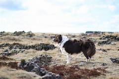 Vfil, Border Collie (astakatrin) Tags: dog pet white beautiful animal iceland collie chocolate border icelandic