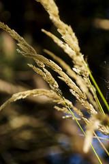PACIFIC NORTHWEST 07 (Detective Steve) Tags: seattle plant nature grass bokeh pacificnorthwest natureycrap