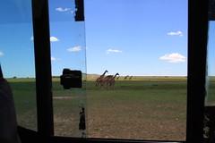 Wildlife Through my Lens (Hassaneini) Tags: kenya wildlife giraffe كينيا kenya1000d