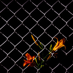 Can't hold us back | 196/366 (emrold) Tags: 14jul16 366the2016edition 3662016 day196366 fujivelvia100f vsco vscofilm04 fence flash flower lily square fujifilmxt1 2016emrold|ericdelorme xf16mmf14rwr