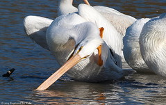 Can't Seem To Get This Water Out Of My Ear (Kaptured by Kala) Tags: humor pelican aquatic waterfowl whitepelican scratching whiterocklake winterbirds americanwhitepelican pelecanuserythrorhynchos sunsetbay dallastexas aquaticbird
