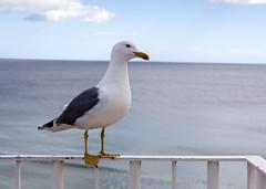 Seagull (Hans van der Boom) Tags: europe portugal algarve vacation holiday albufeira gull seagull animal bird seabird pt