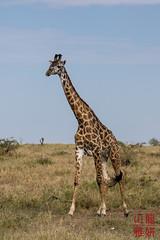 Masai Giraffe (DragonSpeed) Tags: africa tanzania mammal safari mara tz giraffacamelopardalistippelskirchi serengetinationalpark masaigiraffe maasaigiraffe seroneraregion tzday04 africanwildcatsexpeditions