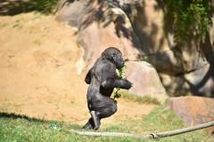 San Diego Safari Park baby Gorilla Joanne on the run (GMLSKIS) Tags: sandiego safaripark california joanne gorilla nikond750