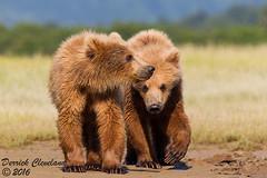 djc_150703BearCubs-2056A (derrickc7) Tags: beach alaska canon july sigma cubs grizzlybear kingsalmon hallobay alaskabearadventures