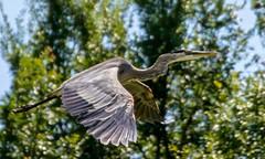 Ascent (brev99) Tags: bird ngc greatblueheron bif birdinflight d7100 tamron70300vc highqualityanimals