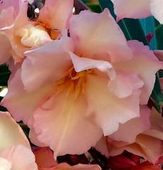 /  (Nerium oleander L.) (janeric2014) Tags: neriumoleander   flowersingreece cretanflowers flowersincrete    oleander