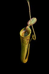 Nepenthes pitcher (RIS'n'RAS) Tags: nepenthes hookeriana pitcher carnivorous carnivore plant green monkeycup flytrap