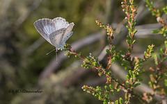 Boomblauwtje / Celastrina angiolus. (m.ritmeester) Tags: ngc naturelovers natuur nederland veluwe vlinders gelderland blauw bruin zwart groen