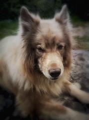 """""""Bamse"""", the dog... (iEagle2) Tags: dog iphone iphone4"""