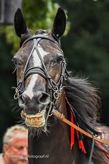 070fotograaf_20160728_067.jpg (070fotograaf, evenementen fotograaf) Tags: harnessracing racing draverij drafsport paardensport paardesport harness paardenmarkt holland netherlands nederland 070fotograaf kortebaandraverij voorschoten 2016 paarden draven kortebaan