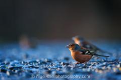 DSC_0598-2 (nigelsnell) Tags: birds cairnwood countydown bird chaffinchfringillacoelebs ononesoftware photo10